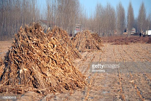 Dried corn husks sit piled up in a field also used to grow wheat that has been dried up by drought in Shandong Province China on Monday Feb 14 2011...