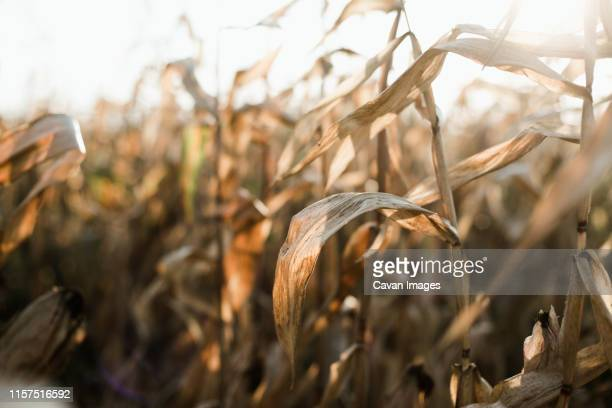 dried corn stalks in a field at the end of a summer - fall harvest stock pictures, royalty-free photos & images