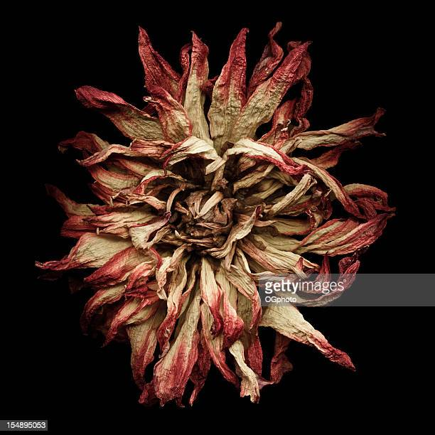dried dahlia - ogphoto stock pictures, royalty-free photos & images