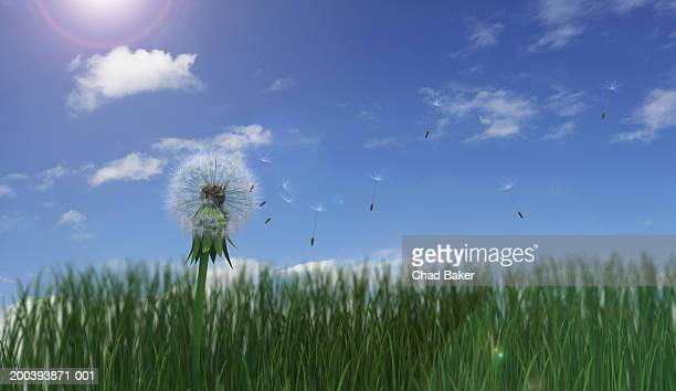 Dried dandelion with seeds blowing