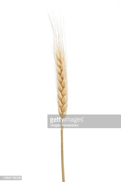 dried ear of wheat isolated on white background - stem stock pictures, royalty-free photos & images