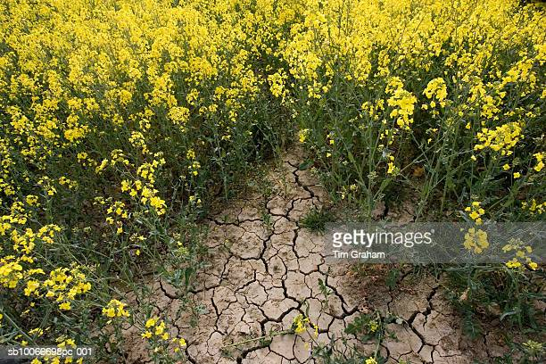 dried earth of rape seed field at time of drought, oxfordshire, uk - dry stock pictures, royalty-free photos & images