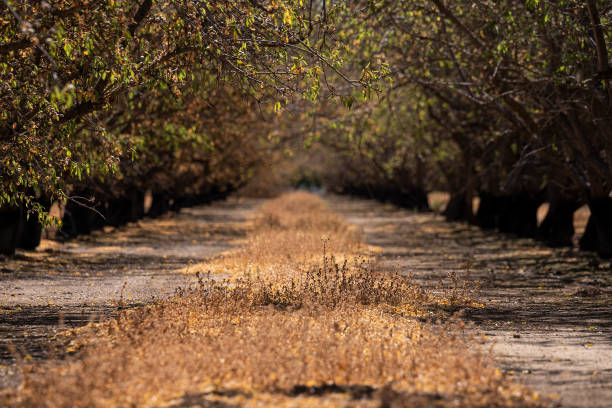 CA: California's Drought Is So Bad That Almond Farmers Are Ripping Out Trees
