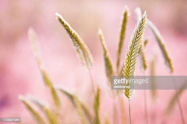 Dried Grass & Pink Background