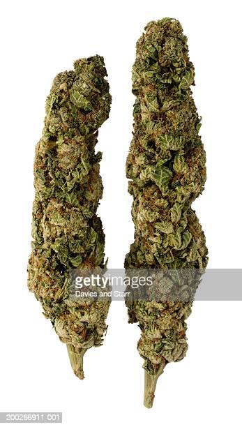 Dried marijuana (Cannabis sativa) buds