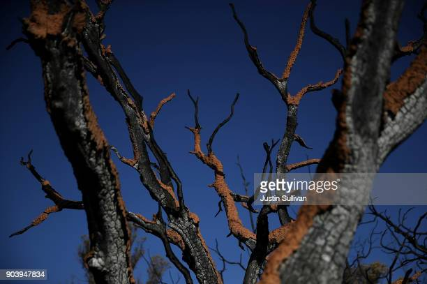 Dried mud clings to the branches of a tree that was burned by a wildfire following a mudslide on January 11 2018 in Montecito California 17 people...