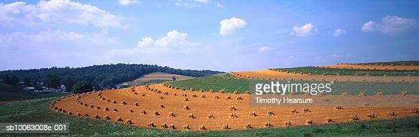 dried oat in field - timothy hearsum stock-fotos und bilder