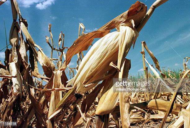 Dried out corn stalks are shown Tuesday August 10 in Upper Makefield Twp Bucks County Pa Federal officials have declared drought disasters in New...