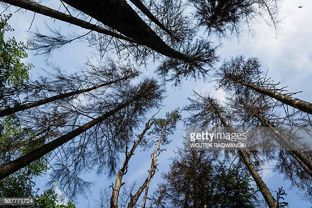 Dried out spruce trees after they were attacked by woodwarms are seen in primaval parts of Bialowieza Forest on May 31, 2016 near Bialowieza. Today,...