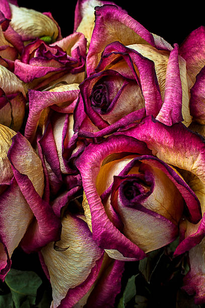 Dried pink and white roses