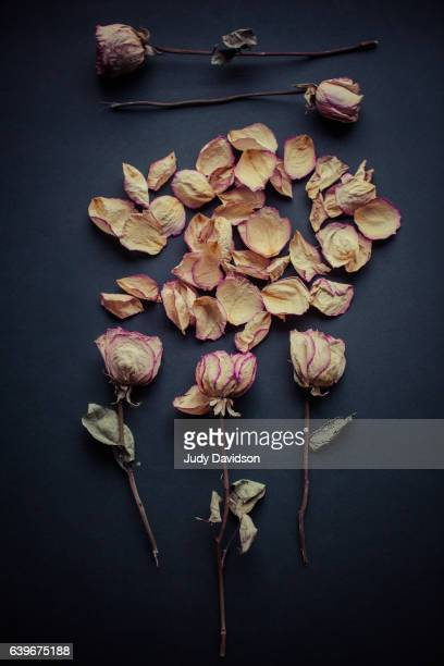Dried pink roses and strewn petals on black background