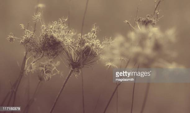 dried queen anne's lace flowers - magdasmith stock pictures, royalty-free photos & images