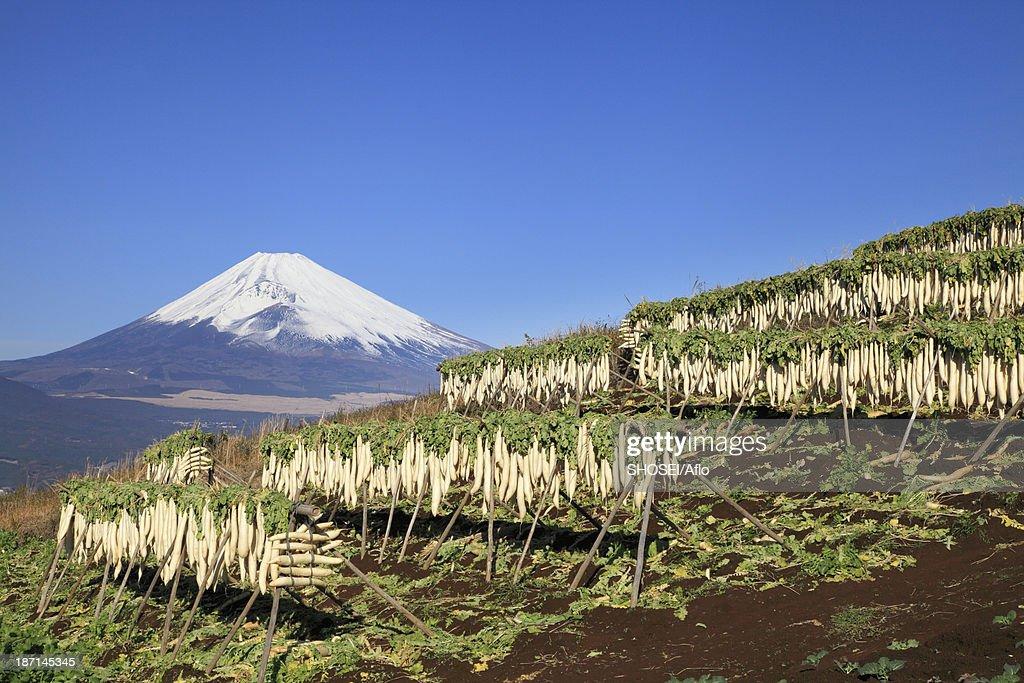 Dried radish and Mount Fuji, Shizuoka Prefecture : Stock Photo