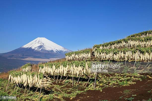dried radish and mount fuji, shizuoka prefecture - takuan stock photos and pictures