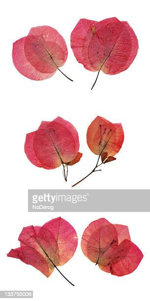 Dried red bougainvillea flower petals