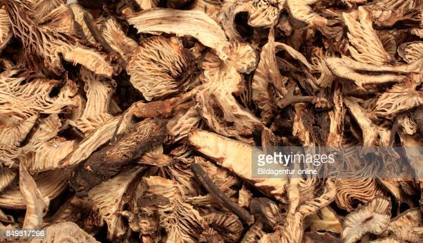 Dried Roots Of The Medicinal Plant Black Snake Root Cimicifuga Racemosa
