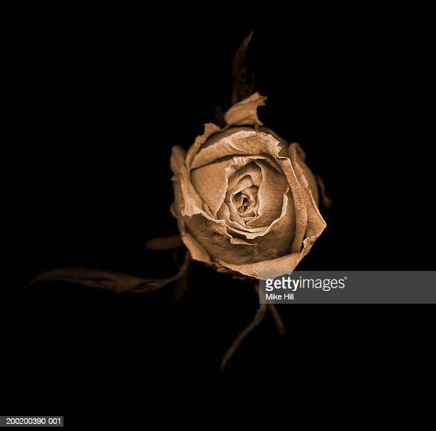 Dried rose against black background