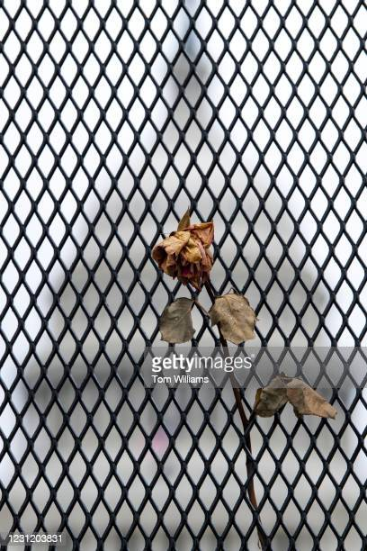 Dried rose hangs on a security fence on the West Front of the Capitol on Tuesday, February 16, 2021.