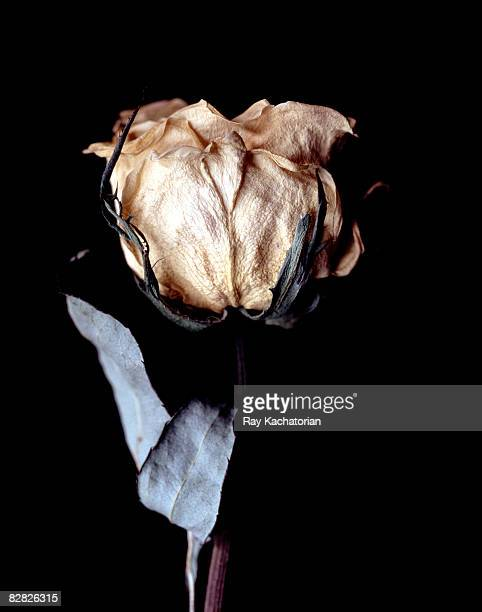 dried rose - dried plant stock pictures, royalty-free photos & images