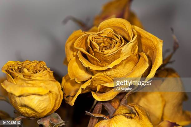 dried rose - ali rose stock-fotos und bilder