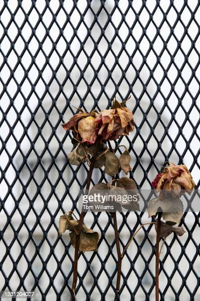 Dried roses hang on a security fence on the West Front of the Capitol on Tuesday, February 16, 2021.