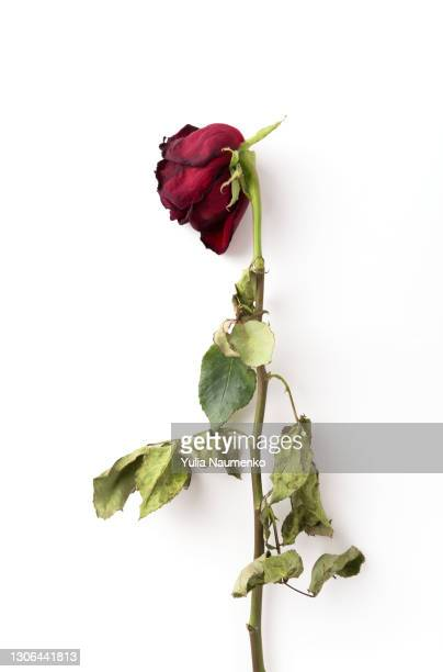 dried roses isolated - death stock pictures, royalty-free photos & images