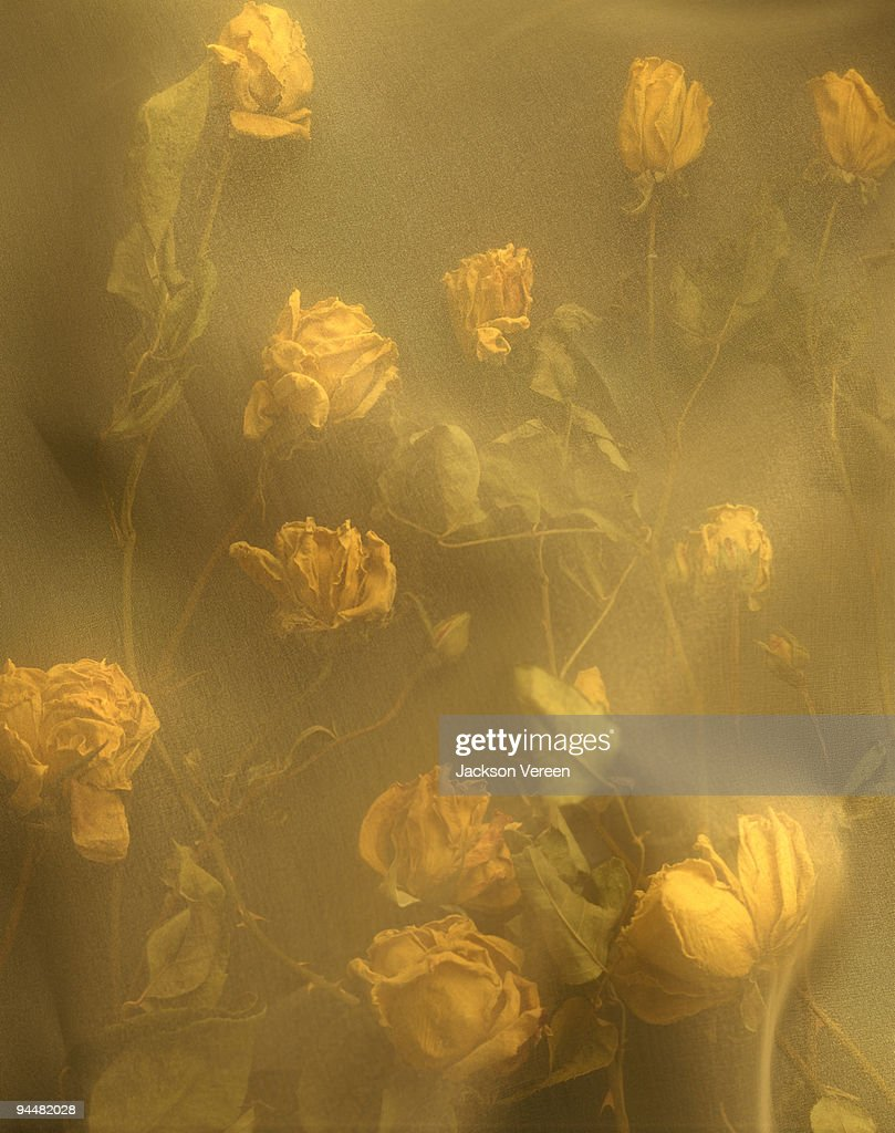 Dried roses : Stock Photo
