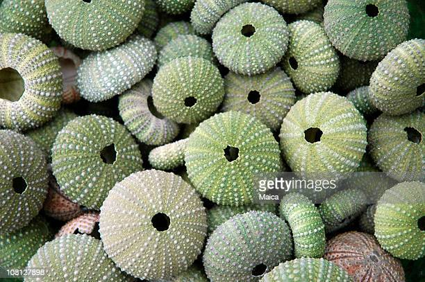 Dried Sea Urchins in Pile