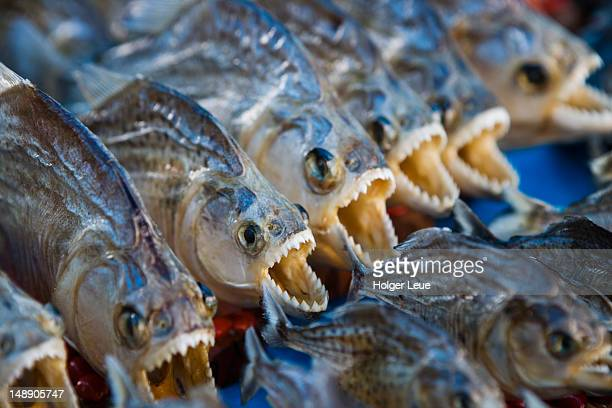 dried souvenir piranhas at market. - piranha stock pictures, royalty-free photos & images