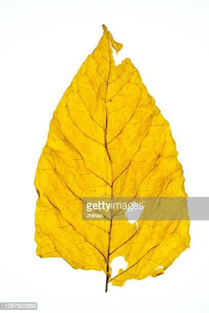 dried tobacco - seco fotografías e imágenes de stock