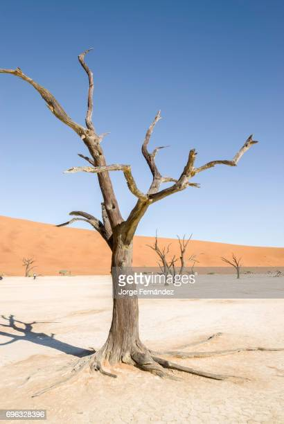 Dried trunks of dead trees standing in the middle of a dry lake in the Namib desert