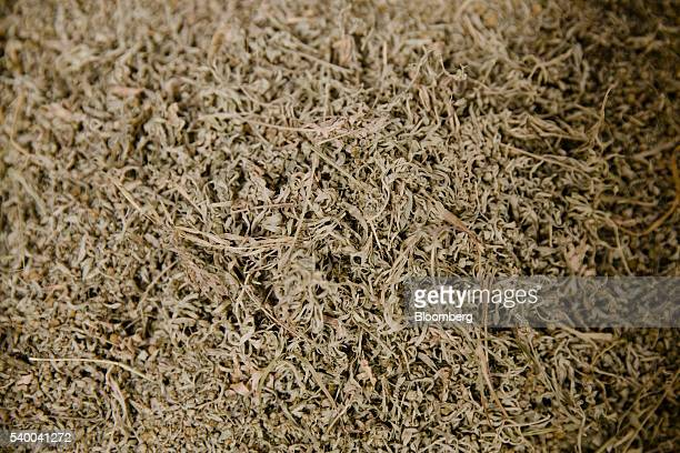 Dried wormwood plant leaves sit in a container during manufacture inside the absinthe distillery operated by Pernod Ricard SA in Thuir France on...