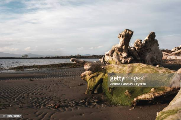 driftwood on beach against sky - pastore maremmano foto e immagini stock