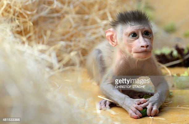 Drill monkey baby Pinto plays in the enclosure at the zoo Hellabrunn in Munich, southern Germany on July 22, 2015. The male monkey was born on June...
