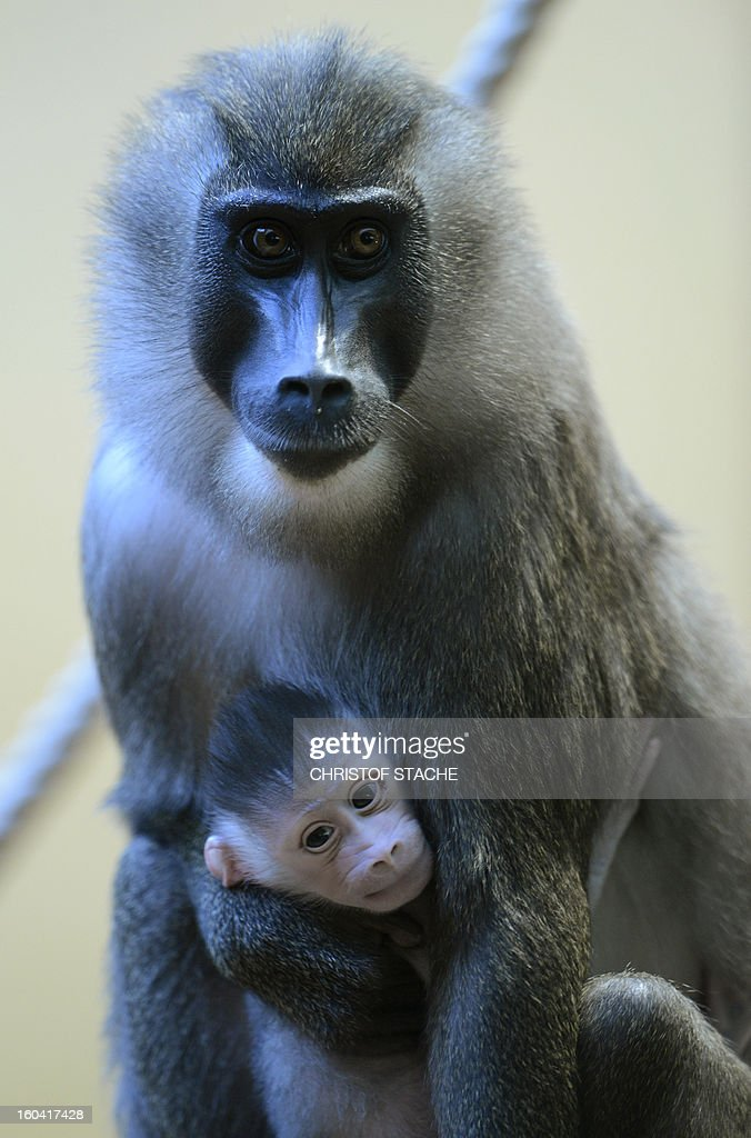 A drill monkey mother Kaduna holds her one week young Drill baby in the primate enclosure in the zoo of Munich Hellabrunn, southern Germany, on January 31, 2013. The Drill monkey baby was born in the zoo on January 24, 2013. The Drill's are in danger of extinction in Africa.