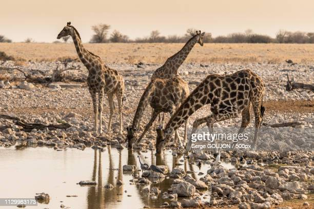 drink under supervision - girafe stock pictures, royalty-free photos & images