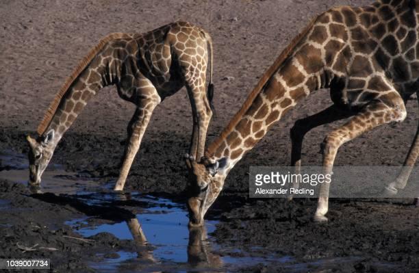 drinking giraffes (giraffa camelopardalis), etosha national park, namibia - vista lateral stock pictures, royalty-free photos & images