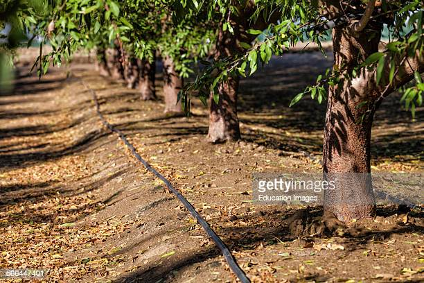 Drip irrigation being used to water almond trees Rod Cardella runs Cardella Winery a family business since 1969 which grows almonds broccoli and...