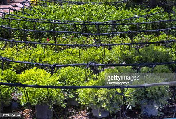 drip irrigation sytem in a green house on a sunny day. - emreturanphoto stock pictures, royalty-free photos & images