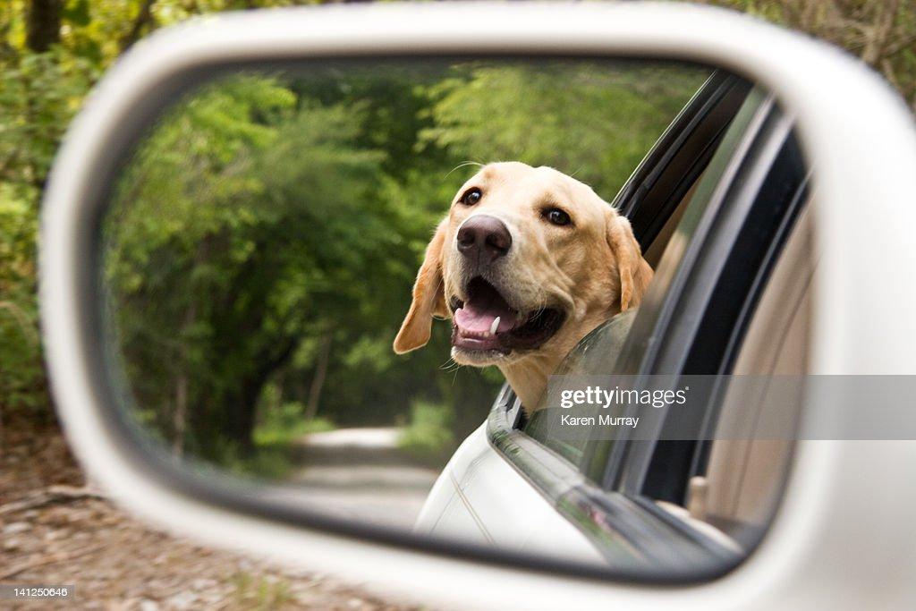 Drive in country with labrador retrieve : Foto de stock