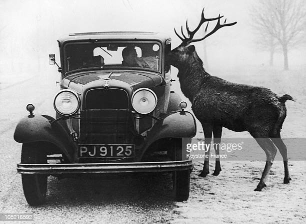 Driver Feads A Red Deer In Richmond Park In London.