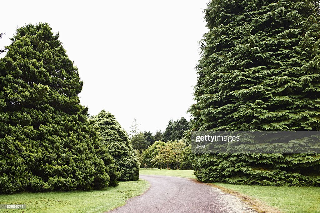 Driveway and fir trees : Stock-Foto