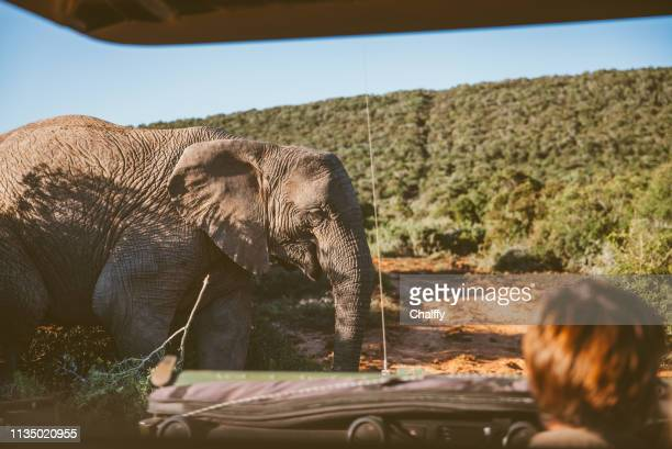 driving in safari - kruger national park stock pictures, royalty-free photos & images