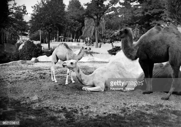 Dromadaires au zoo de Vincennes France en 1948