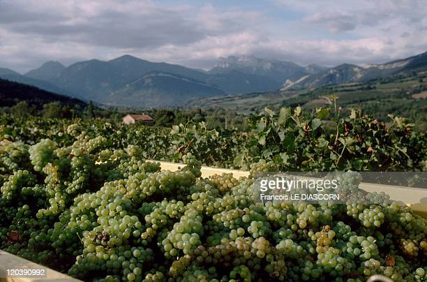 Drome France Wine harvesting in the Diois region