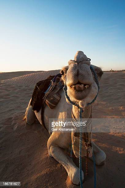 CONTENT] Dromedarian ride in Sahara