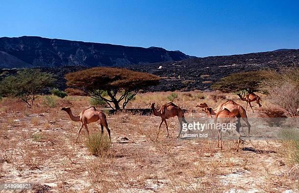 Dromedaries Camelus dromedarius Djibouti Djibuti Africa Afar Triangle