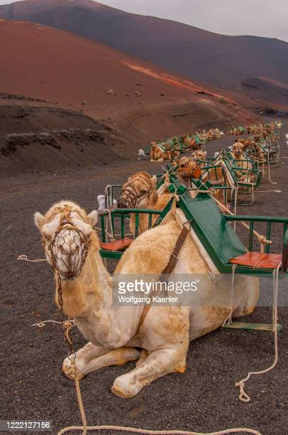 Dromedaries waiting to give tourists a ride through the lava landscape of Timanfaya National Park, a Spanish national park in the southwestern part...