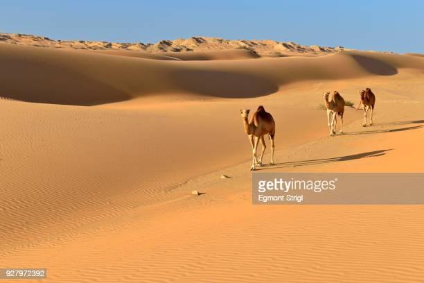 dromedaries (camelus dromedarius) walking in the sanddunes of al khaluf desert, sharqiyah, oman, arabia - arabian peninsula stock pictures, royalty-free photos & images