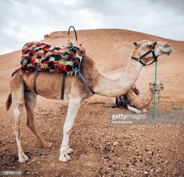 dromedario en el desierto del sahara - great sandy desert fotografías e imágenes de stock